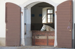 Lipizzaners from Lipica